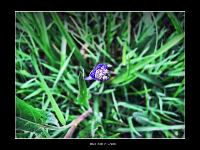 Blue-bell-in-the-grass-Andrew-Miller-Photography